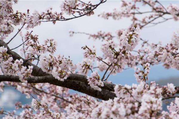 L'ikigai, le bonheur à la japonaise